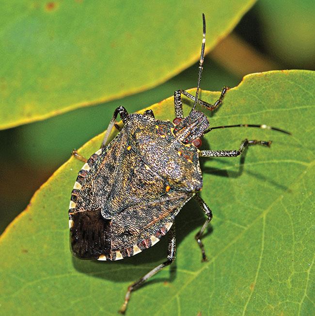 Researchers prime defences for stink bug invasion