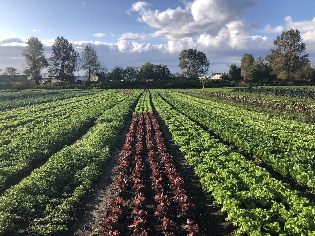 vegetable field in British Columbia
