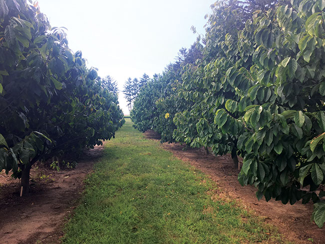 """Seeds of opportunity: """"Exotic"""" fruit has Ontario roots"""